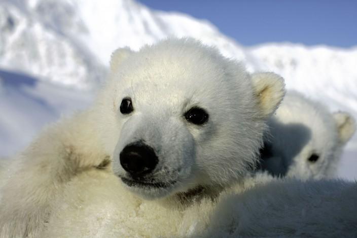 Polar bear cubs, Svalbard, Norway